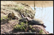 Marsh Terrapins