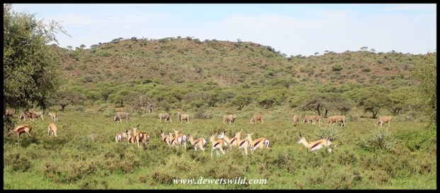 Springbok and eland at Mokala National Park, April 2018