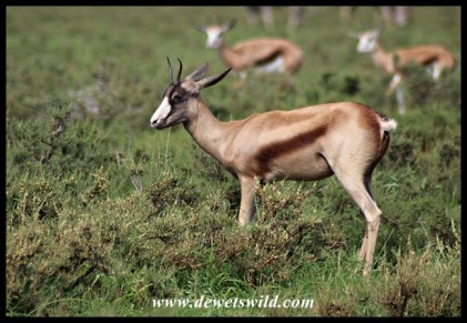 Copper Springbok