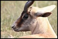 Copper Springbok ram