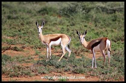 Springbok ewes