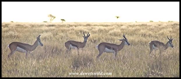 Springbok bachelor rams