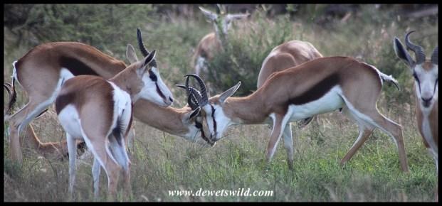 Springbok rams sparring