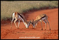 Springbok rams contesting a territory in Mokala National Park