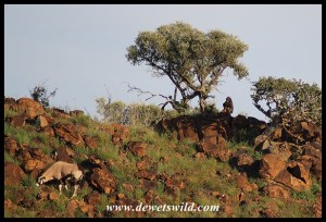 Baboon sharing a hill with a gemsbok