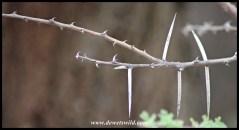 Umbrella Thorn thorns