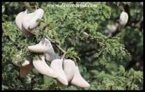 Camel Thorn pods