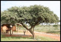 Young Camel Thorn tree