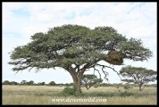Camel Thorn tree with sociable weaver nest
