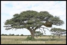Camel Thorn tree with sociable weaver nest