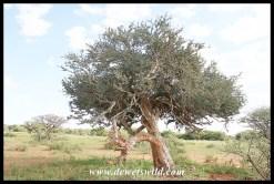 Shepherd's Tree