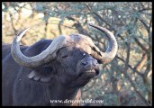 Buffalo bull soaking in the first rays of the sun