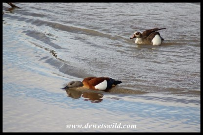 Egyptian Goose chasing South African Shelduck