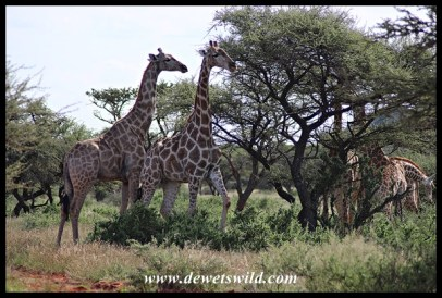 Giraffes in Mokala National Park