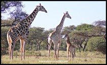 Giraffe family in Mokala National Park