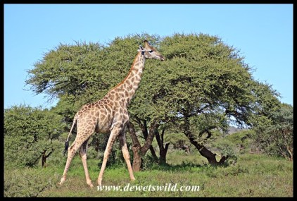 Giraffe in Mokala National Park