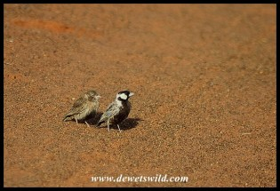 Grey-backed Sparrow Lark (male and chick)