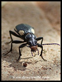 Two-spotted Ground Beetle