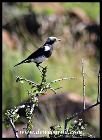 Mountain Wheatear (male)