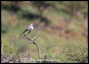 Namaqua Dove (male)