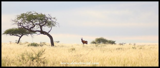 Red hartebeest in the wide open spaces