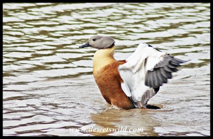 South African Shelduck (male)
