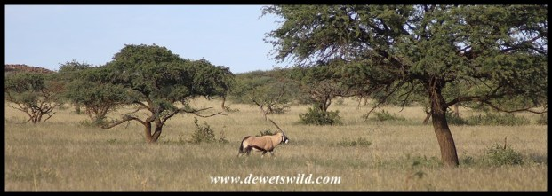 Gemsbok on Mokala's open plains