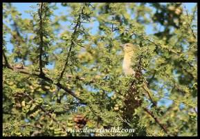 Southern Masked Weaver (female)