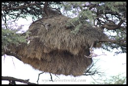 Sociable Weaver nest