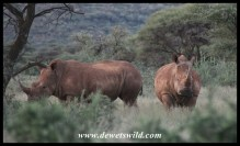 Rhino pair in Mokala National Park