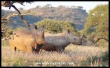 White rhino cow with almost fully grown calf