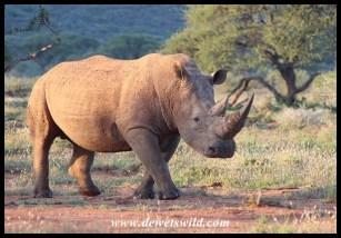 Impressive white rhino bull