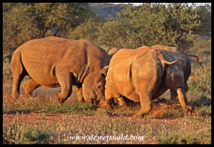 Angry white rhino cow defending her calf