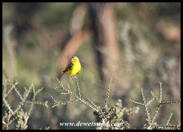 Yellow Canary (Male)