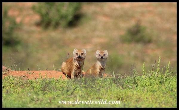 Yellow Mongoose | de Wets Wild