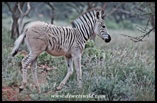 Pale-rumped Plains Zebra foal in Mokala National Park