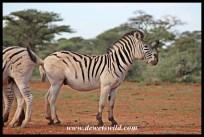Pale-rumped Plains Zebra in Mokala National Park