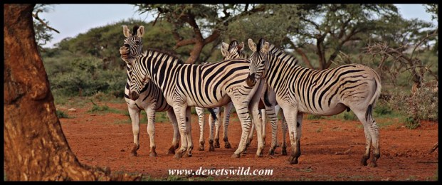 """Some plains zebras in Mokala National Park still don the more """"traditional"""" look."""