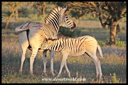 Pale-rumped Plains Zebra foal in Mokala National Park