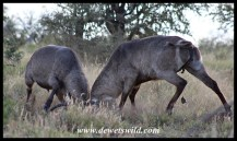 Dueling Waterbuck Bulls in the Nshawu Vlei (marsh) near Mopani in the Kruger National Park