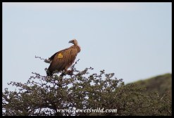 White-backed Vulture W428