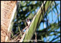 Bronze Mannikin collecting palm strands for nest building