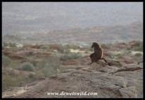 Baboon surveying the landscape