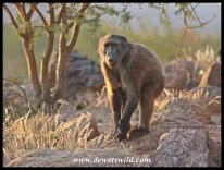 Baboons frequent the camp in the mornings