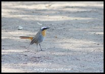 Cape Robin-Chat at Augrabies Falls National Park (race C. c. namaquensis)