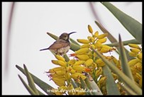 Dusky Sunbird on a flowering Quiver Tree