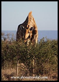 Giraffe seem to thrive at Augrabies despite the harsh environment