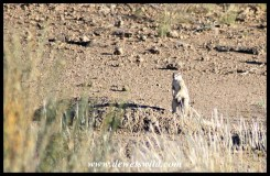 Ground Squirrels run around the camp