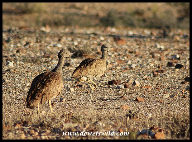 Karoo Korhaan are excellently camouflaged in the arid landscape