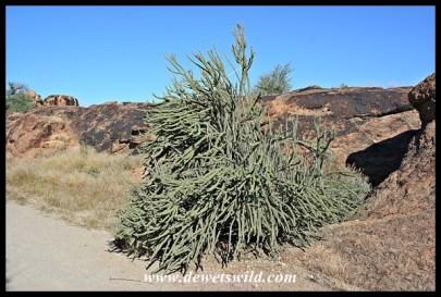 Large Namaqua Porkbush